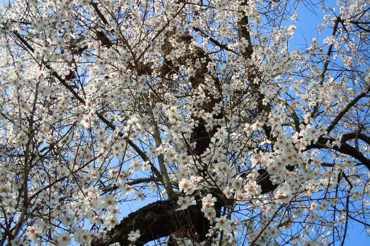 les fleurs de l 39 amandier nature au printemps linternaute. Black Bedroom Furniture Sets. Home Design Ideas