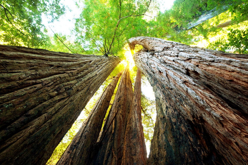 foret sequoia californie