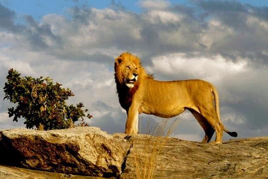Le lion roi de la savane - Animaux du roi lion ...