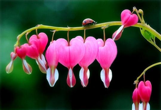 La recherche de l 39 amour - Fleurs en forme de coeur ...