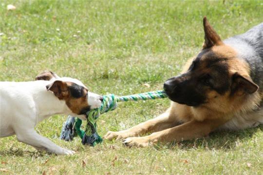 http://i-cms.linternaute.com/image_cms/original/1614475-tir-a-la-corde-canin.jpg
