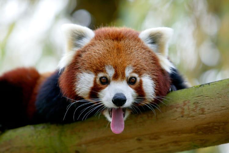 Le panda roux - Panda roux dessin ...