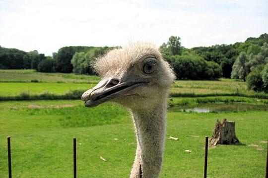 L 39 autruche fait les gros yeux les animaux sauvages dans - Animaux a gros yeux ...