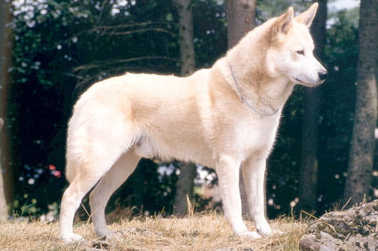 le chien de canaan races de chiens insolites l 39 internaute nature. Black Bedroom Furniture Sets. Home Design Ideas