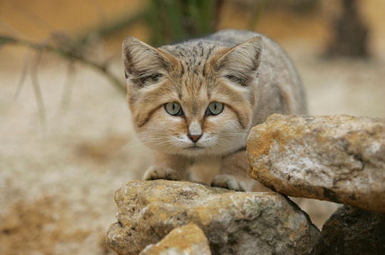 chat-sables-241965.jpg