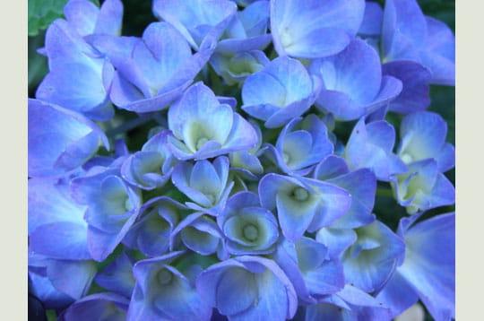 hortensia bleu les plus belles couleurs de la galerie linternaute. Black Bedroom Furniture Sets. Home Design Ideas