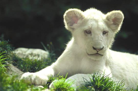 lion-blanc-245599 dans LION