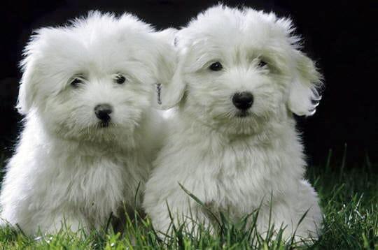 http://www.linternaute.com/nature-animaux/magazine/photo/les-chiots-les-plus-mignons/image/coton-tulear-247717.jpg