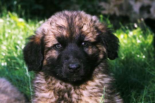 "Leonberger adoption idaho"" ""leonberger breeders rest"""