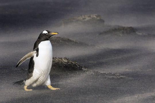 http://www.linternaute.com/nature-animaux/magazine/photo/instantanes-de-la-vie-sauvage/image/marche-manchot-papou-258903.jpg