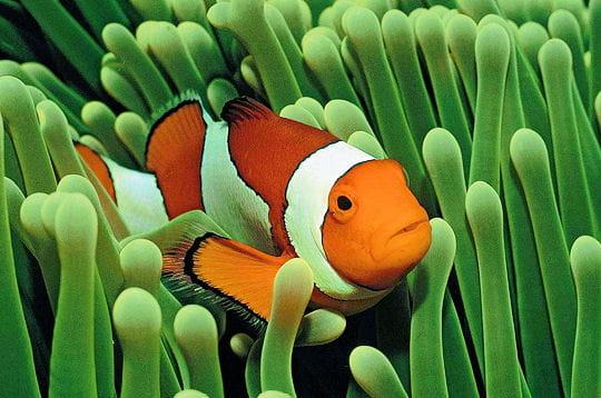 La cachette du poisson clown couleurs des fonds marins linternaute - Image poissons ...