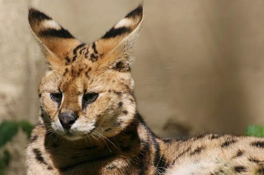 Animaux tranges des animaux tranges et fascinants linternaute - Felin de la savane ...