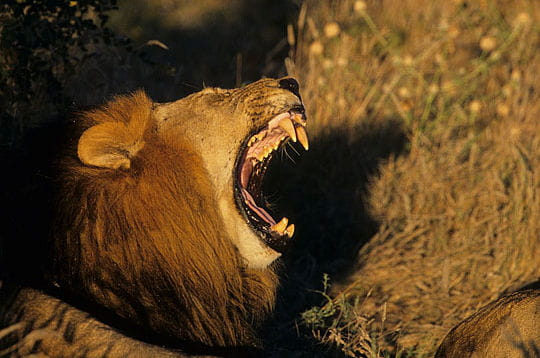 Le roi de la savane le lion linternaute - Felin de la savane ...