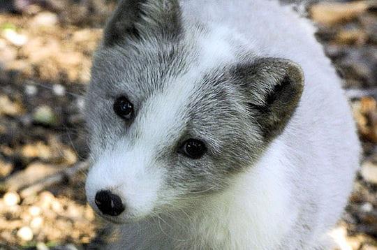 Le regard du renard des neiges les regards des animaux - Renard mignon ...