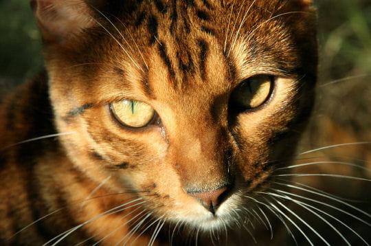 le chat bengal n'est pas un animal sauvage, mais bien un chat à part entière,