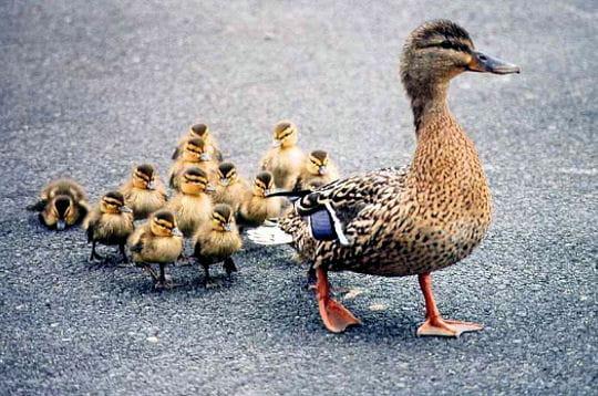 http://www.linternaute.com/nature-animaux/magazine/photo/les-bebes-de-la-ferme/image/cane-269100.jpg