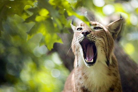 http://www.linternaute.com/nature-animaux/magazine/photo/jura/image/lynx-273048.jpg