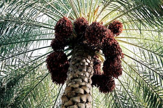 http://www.linternaute.com/nature-animaux/magazine/photo/l-agriculture-dans-sa-diversite/image/palmier-dattier-281809.jpg