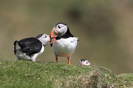 Oiseaux des Shetland