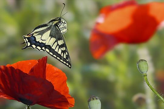 l 39 envol du papillon les plus belles images des. Black Bedroom Furniture Sets. Home Design Ideas