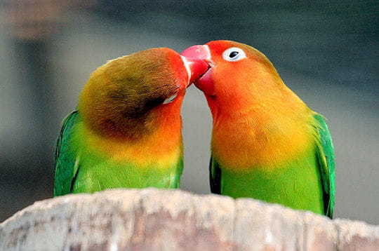 Citaten Love Bird : Un couple soudé