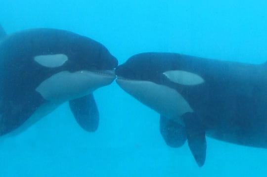 Le bisou des orques