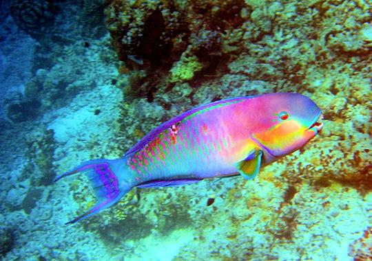La jamaique - Grand poisson de mer ...