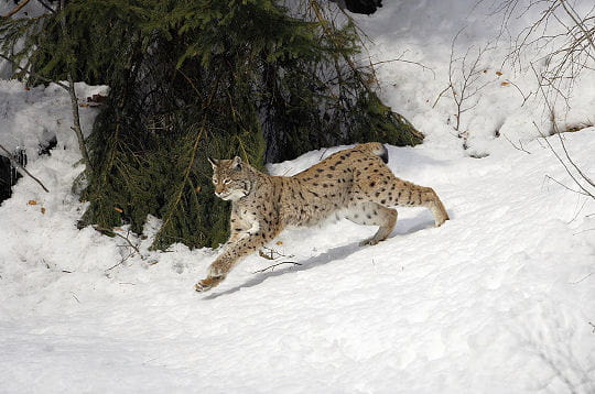 http://www.google.fr/url?source=imglanding&ct=img&q=http://www.linternaute.com/nature-animaux/animaux-sauvages/photo/le-lynx/image/protection-accrue-290442.jpg&sa=X&ei=SAEcT8a8AdPa8QPQncGkCw&ved=0CAsQ8wc4XA&usg=AFQjCNFEsjmKF--N-RQ3ER55s15keWrKlA