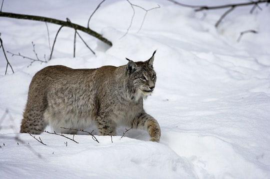 une fourrure pour l 39 hiver le lynx linternaute. Black Bedroom Furniture Sets. Home Design Ideas
