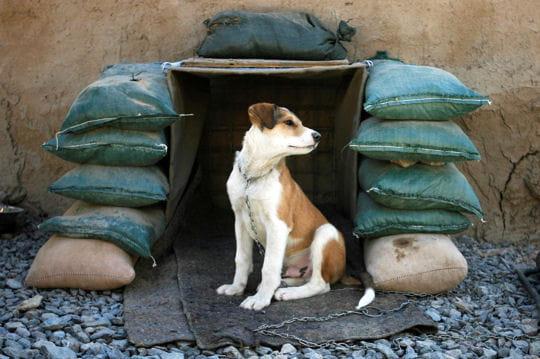 chien afghan les plus belles photos de notre monde linternaute. Black Bedroom Furniture Sets. Home Design Ideas