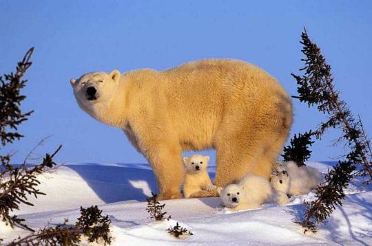 جفتري خرس قطبي دیدنی های امروز