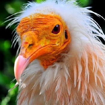 http://www.linternaute.com/environnement/magazine/dossier/les-sites-et-animaux-menaces-dans-le-monde/image/vautour-percnoptere-317418.jpg