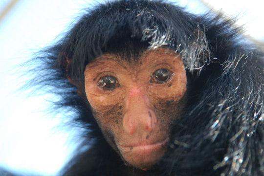 Le singe aux bras plus long que les jambes - Le singe d aladdin ...