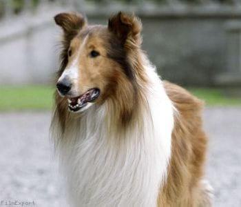 lassie-333224