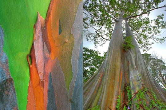 http://www.linternaute.com/nature-animaux/flore/photo/reconnaitre-les-ecorces-des-arbres/image/l-eucalyptus-arc-en-ciel-341345.jpg