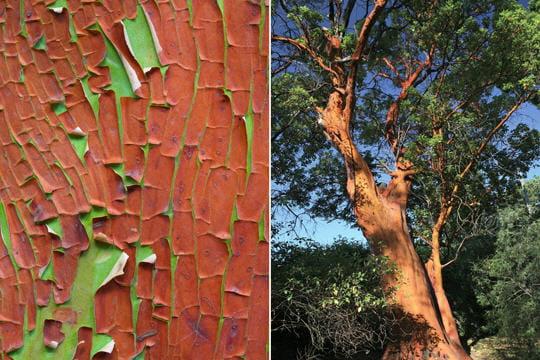 http://www.linternaute.com/nature-animaux/flore/photo/reconnaitre-les-ecorces-des-arbres/image/l-arbousier-grece-341363.jpg