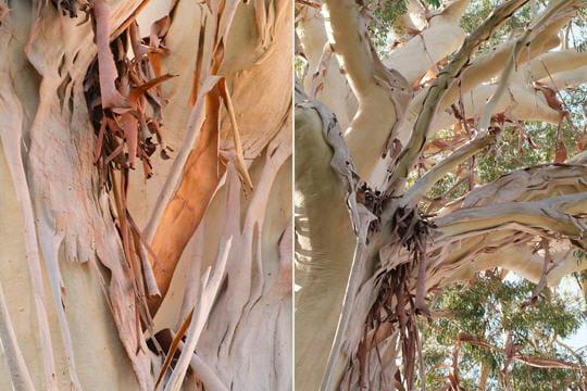 l 39 eucalyptus blanc de dorrigo reconna tre les corces des arbres linternaute. Black Bedroom Furniture Sets. Home Design Ideas