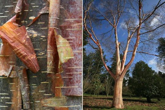 le bouleau rouge de chine reconna tre les corces des arbres linternaute. Black Bedroom Furniture Sets. Home Design Ideas