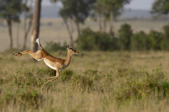 le saut de l'impala