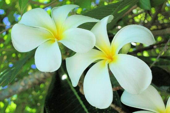 photos pays du mondeserenite aux maldives frawsy With affiche chambre bébé avec parfum fleur de frangipanier