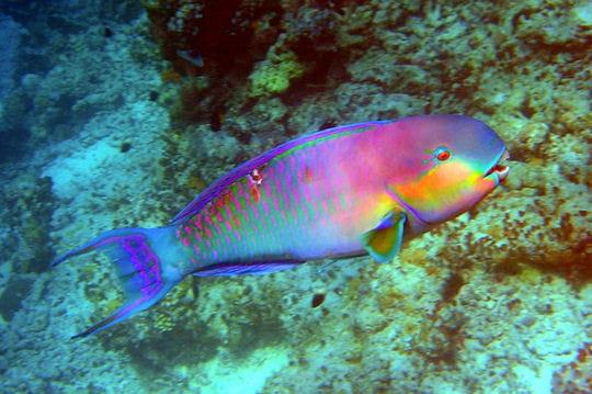 poisson-perroquet-361509
