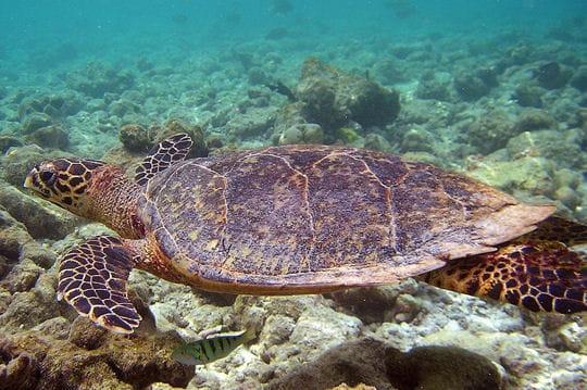 2000: le 26/11 à 5h15 - Disque ou Sphère OSNI - Rasdhoo Atol (Maldives)  Tortue-goguette-362093
