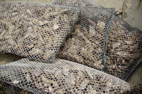 Poches d'huîtres