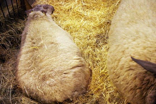 pelote de laine les in dits du salon de l agriculture