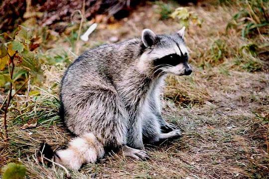 Les 100 plus belles photos animalières de l'année Raton-laveur-404859
