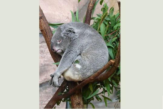 Les 100 plus belles photos animalières de l'année - Page 2 Koala-404892