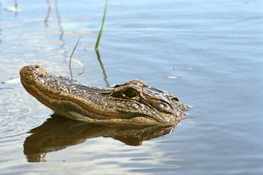 Les 100 plus belles photos animalières de l'année - Page 2 Alligator-405103