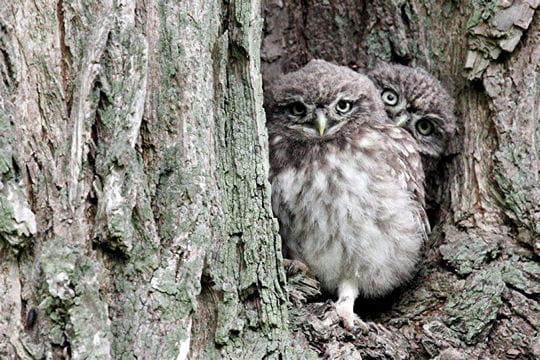Les 100 plus belles photos animalières de l'année Chouettes-cheveches-405109