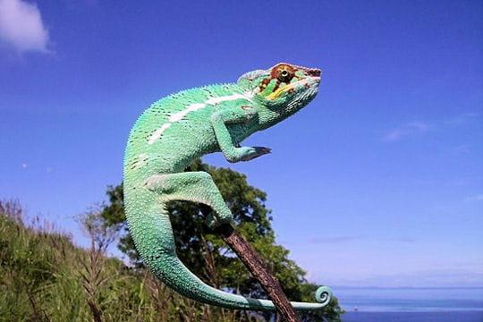 Les 100 plus belles photos animalières de l'année - Page 2 Cameleon-405152
