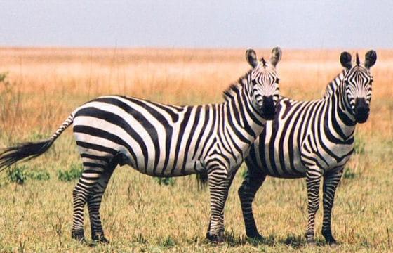 Les 100 plus belles photos animalières de l'année - Page 2 Zebres-405164
